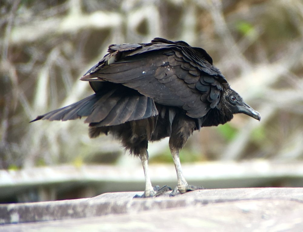 """I will beak your car when you turn your back.""--Black Vulture."