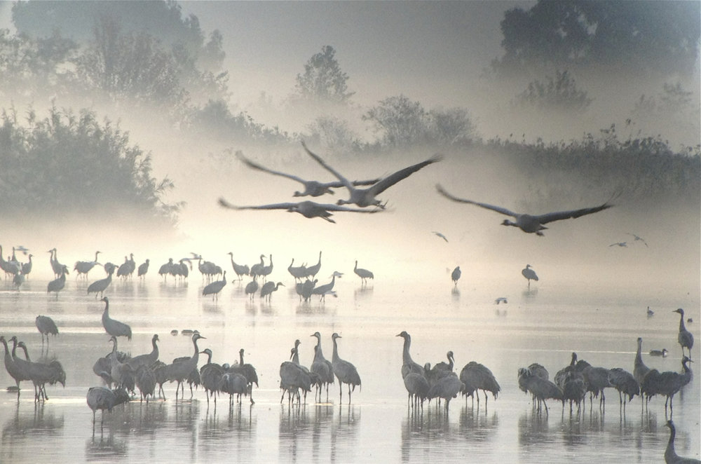 Common Cranes in fog.jpg