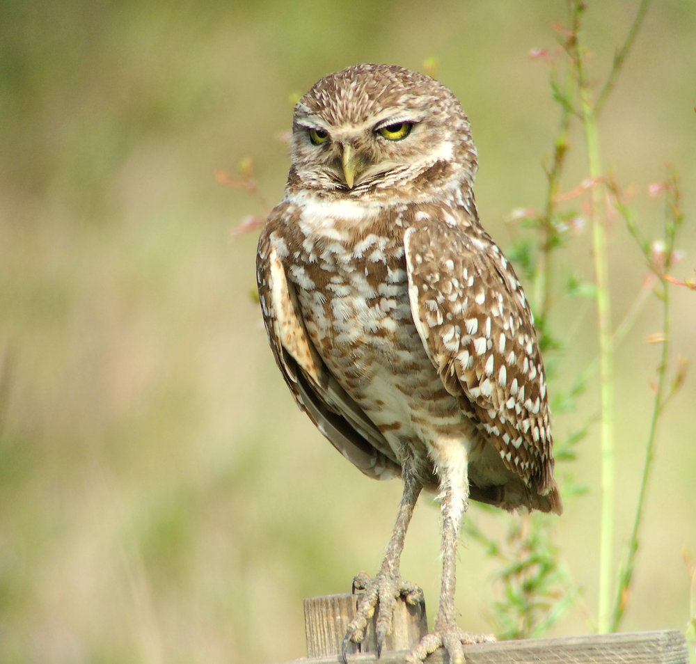 Burrowing Owl Adult 1.jpg