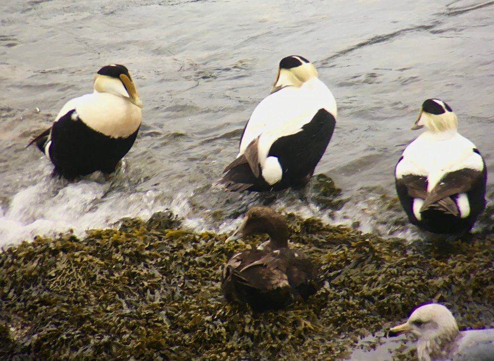 Common eiders chillin' in Maine.