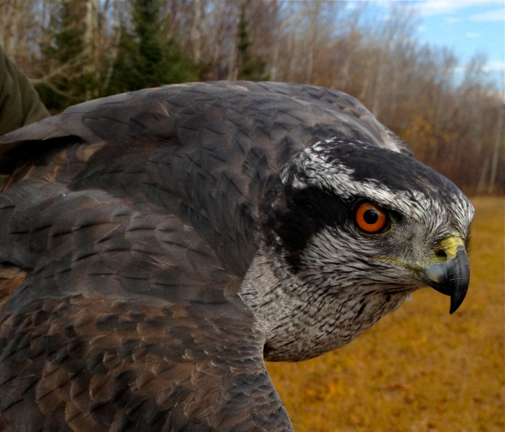 Most of my northern goshawk experience has been in bird banding. What a beauty to behold and have the honor of holding in your hands...and it is a loud ass bird.