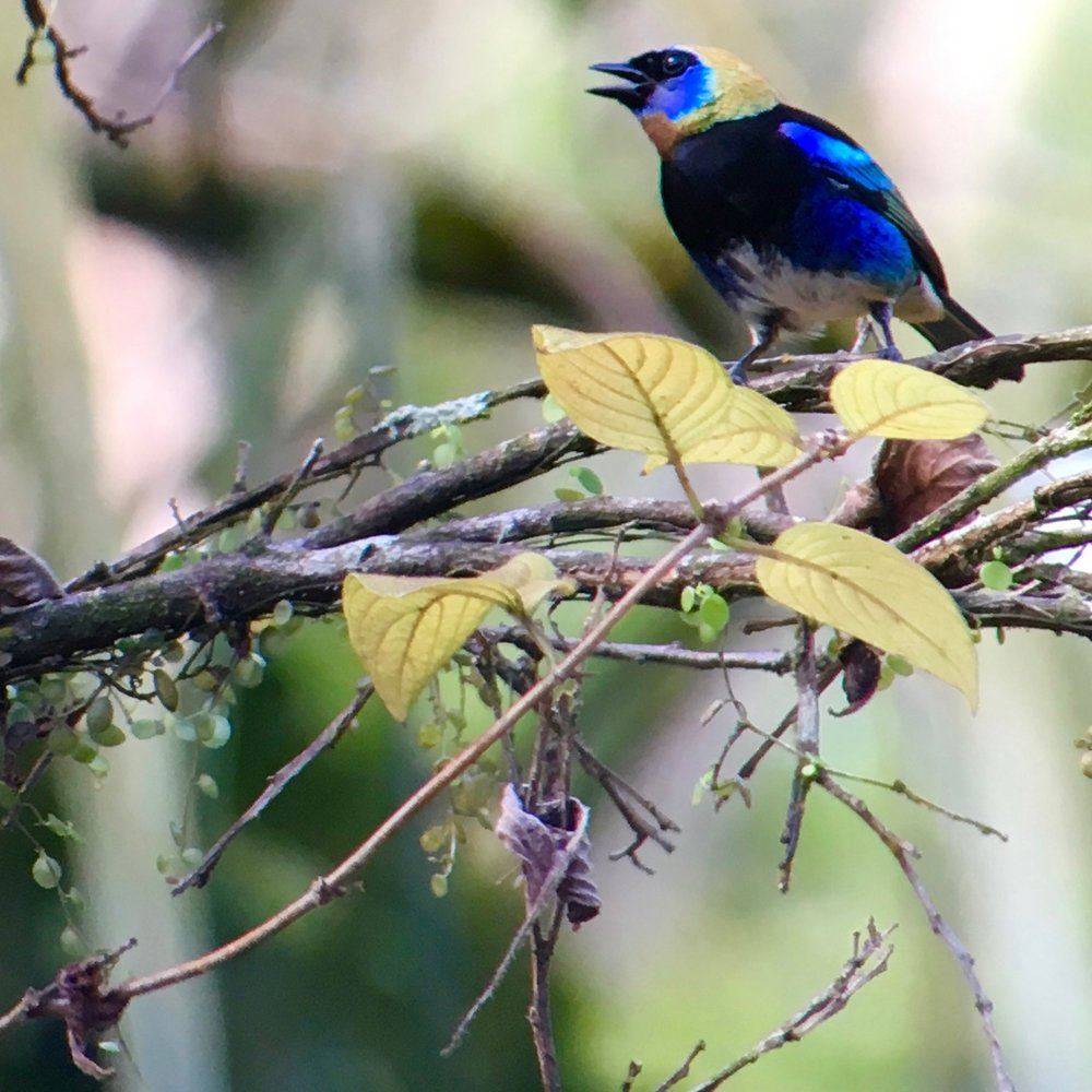 The fabulous golden-hooded tanager seen as soon as we were in the parking lot at Rio Santiago.