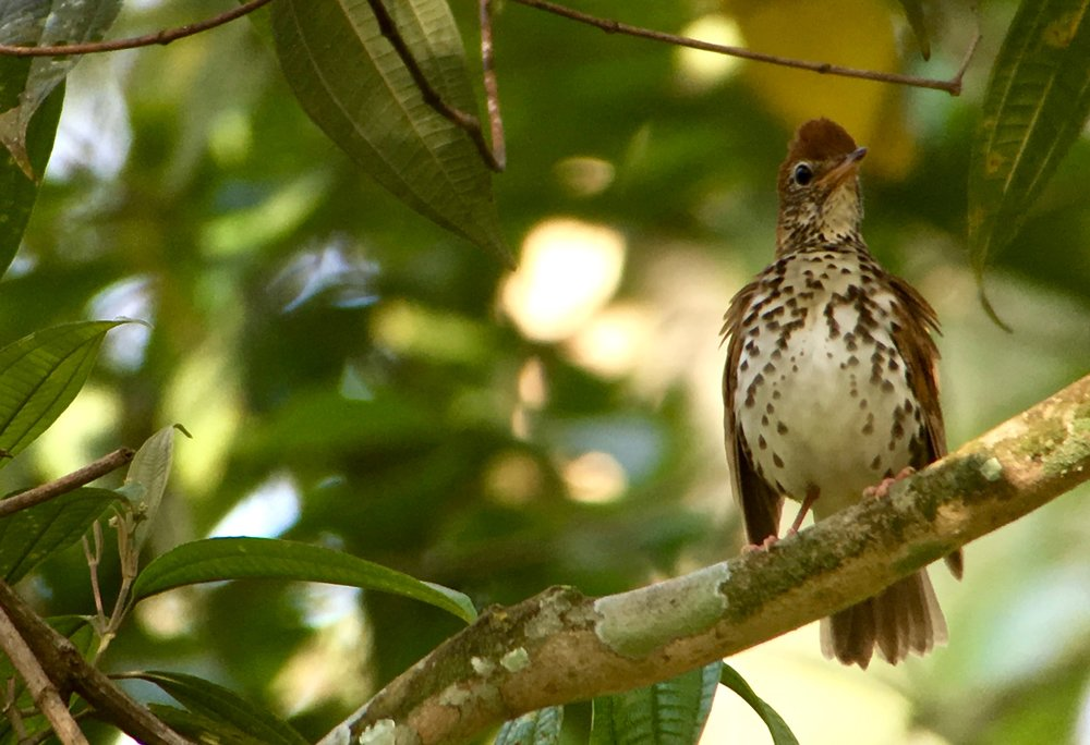 Always fun to see birds like this wood thrush that spend the summer with us in the United States wintering in Central America.