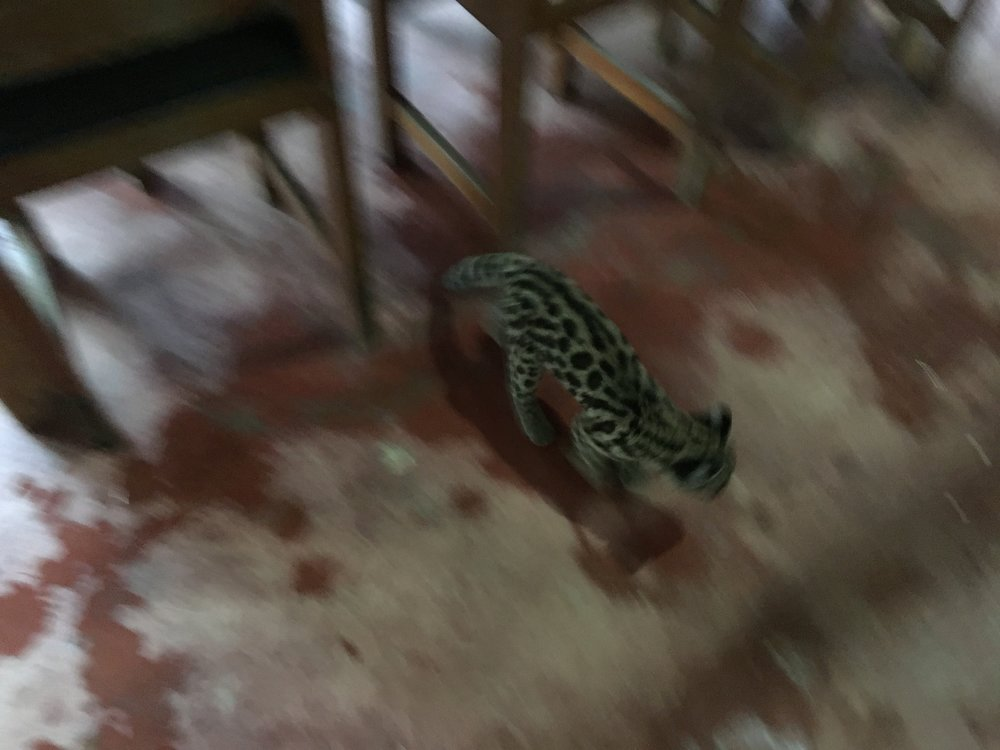 You read that correctly, a baby ocelot walked into the hummingbird bar.