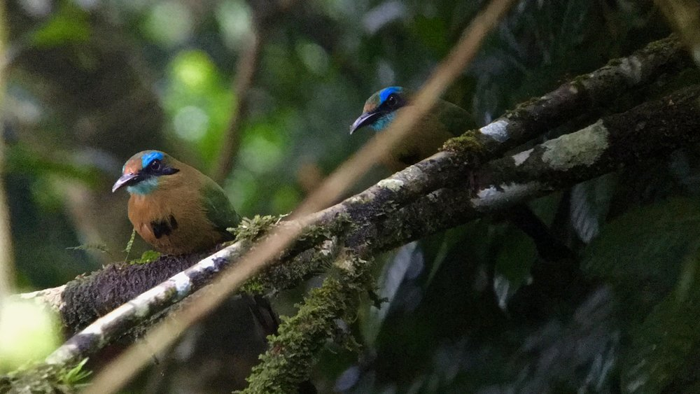 A pair of keel-billed motmots tucked in the darkness of fog and forest viewed from the top of the Panacam Lodge tower.