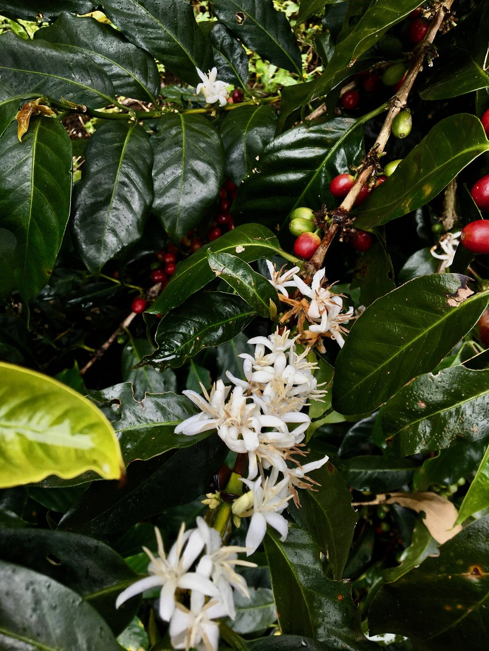 Coffee flowers and beans up close.