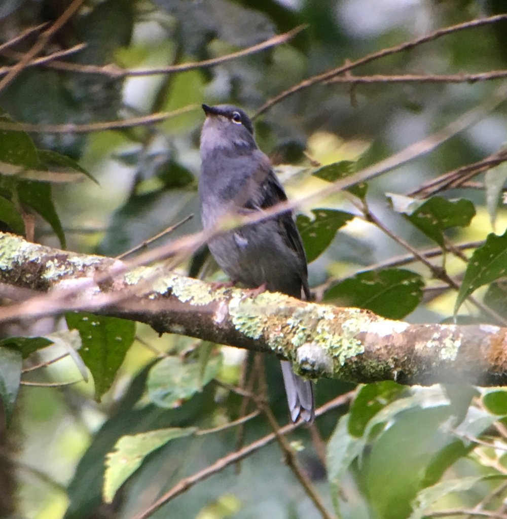 A slate colored solitaire. What they lack in color, they more than make up for in song. Check out some of their songs over at Xeno-Canto.