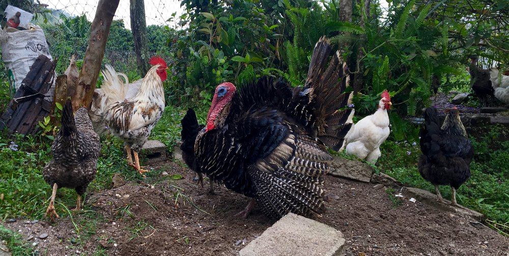 The poultry posse in our guides backyard. These critters looked fairly robust. Most of the livestock around Honduras is much thinner than their United States counterparts.