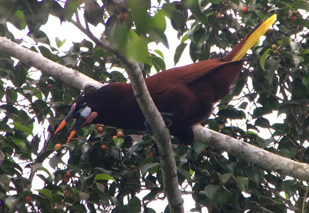 These birds are EVERYWHERE--the Montezuma oropendola! This is also the bird that non-birding friends email me about whenever they are in Central America.