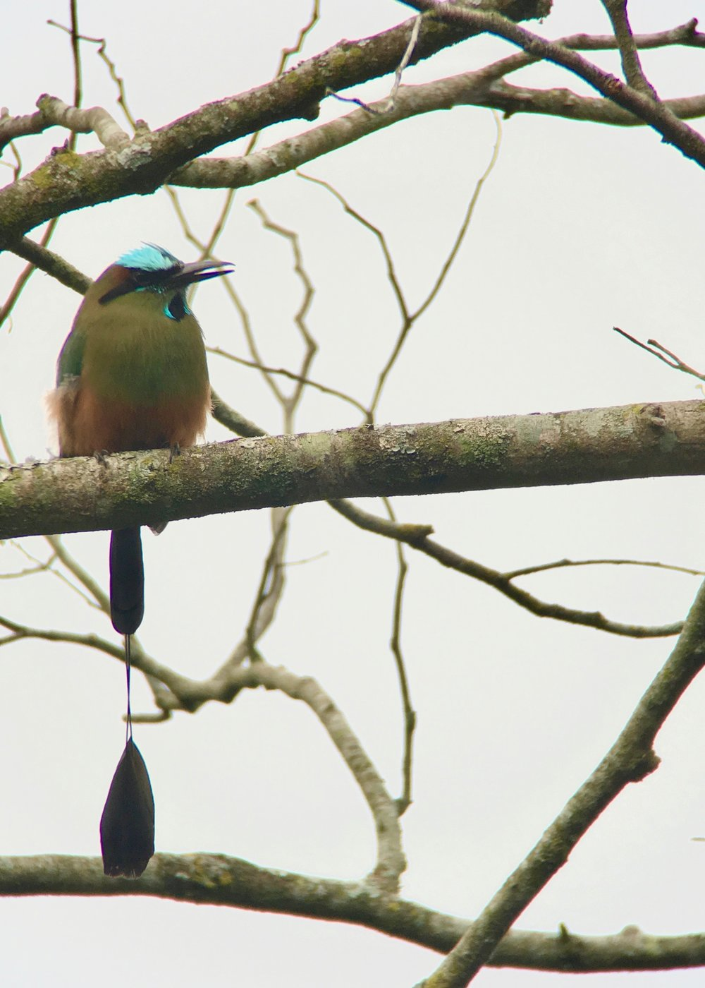 Turquoise-browed motmot.