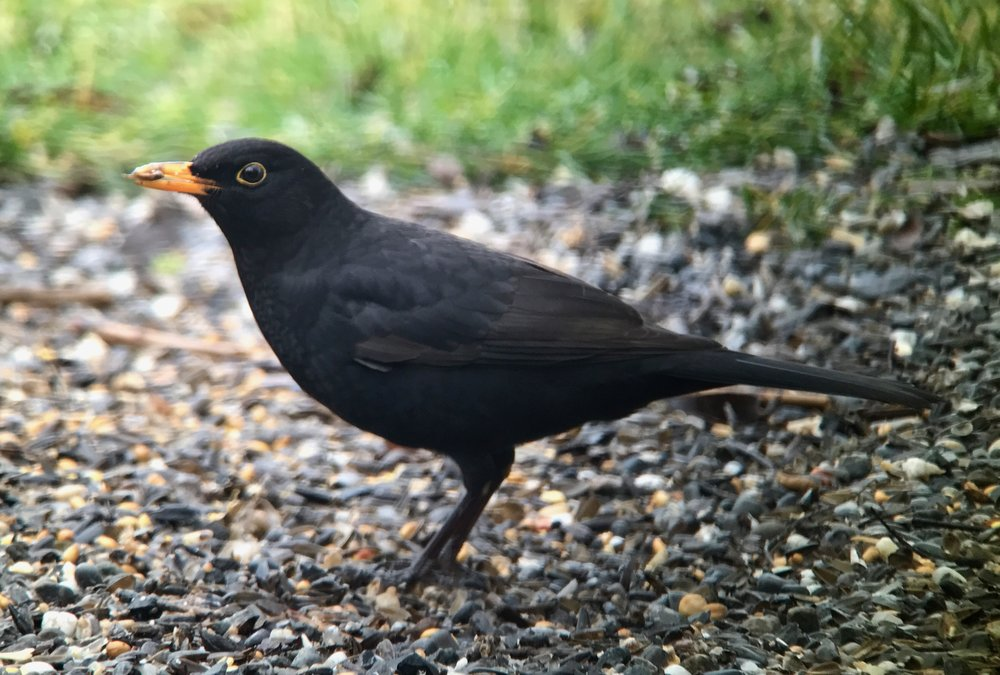 Blackbird or what we here in the US would think of as a melanistic robin.