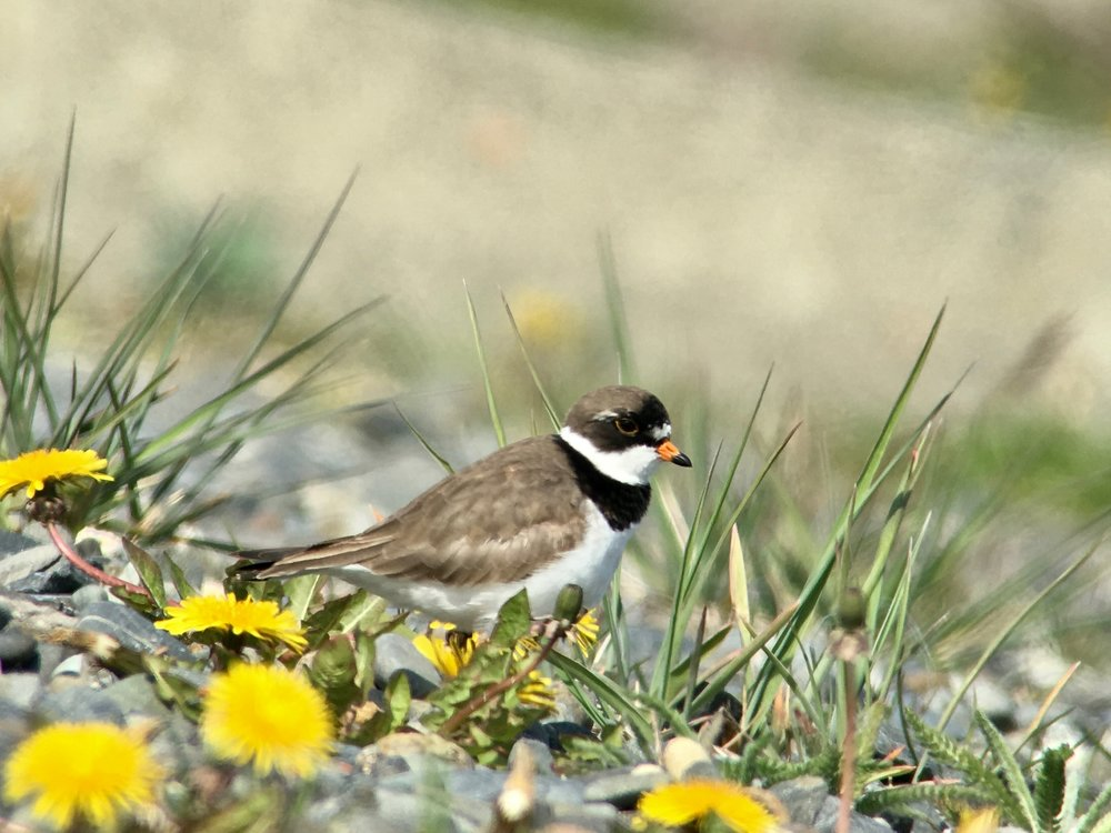 Semi-palmated plover seen along the Homer Spit.