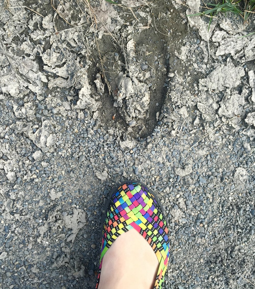 My foot compared to a moose track.