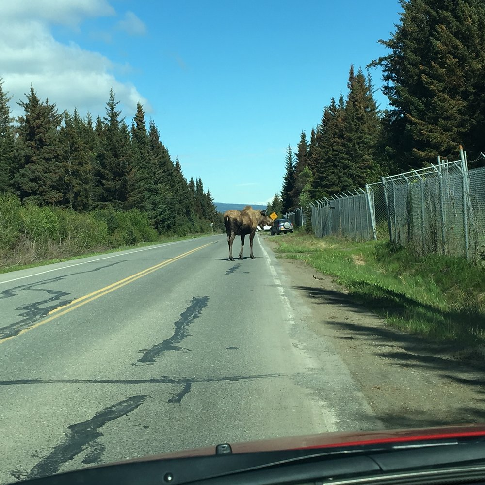 Moose blocking traffic in Homer.