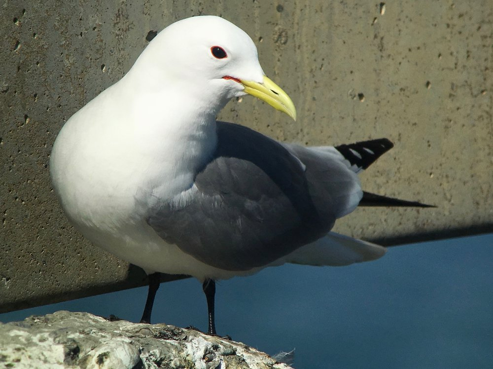 Black-legged Kittiwake up close.