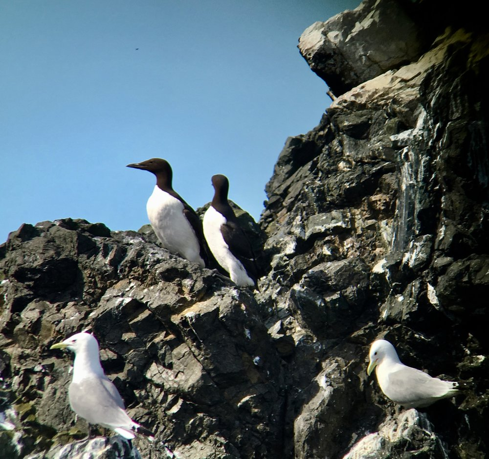 Common murres and black-legged kittiwakes on Gull Island. Digiscoped from a boat. The iPhone is a very forgiving camera.