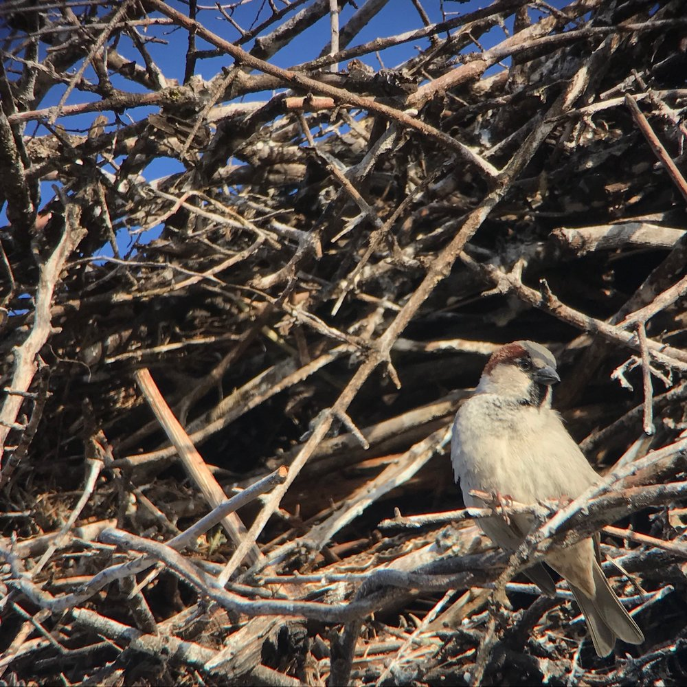 House sparrow nesting inside a stork nest.