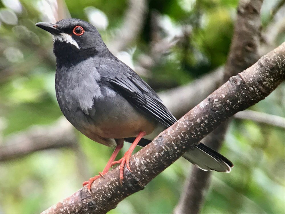Red-legged thrush.