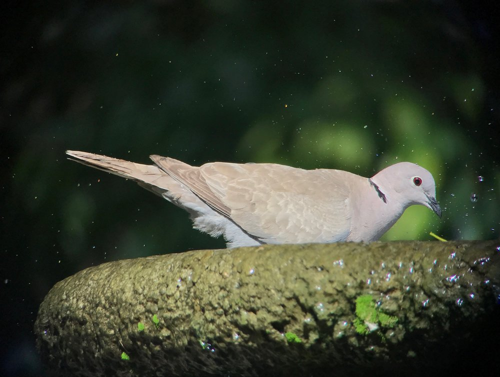 Of course there are Eurasian collared-doves in Havana.