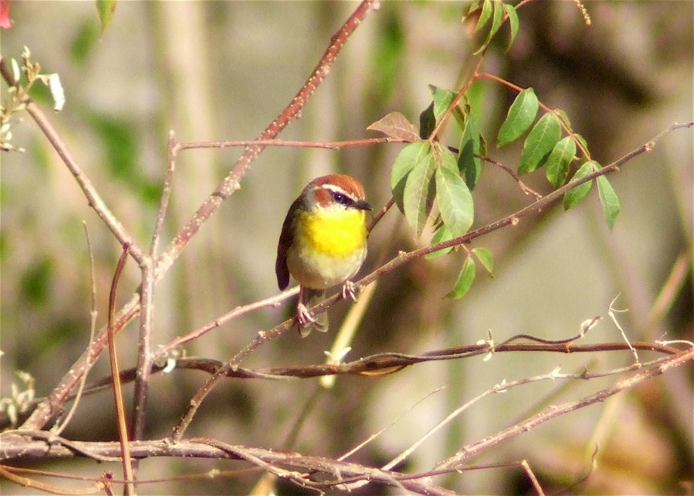 Rufous-capped warbler.