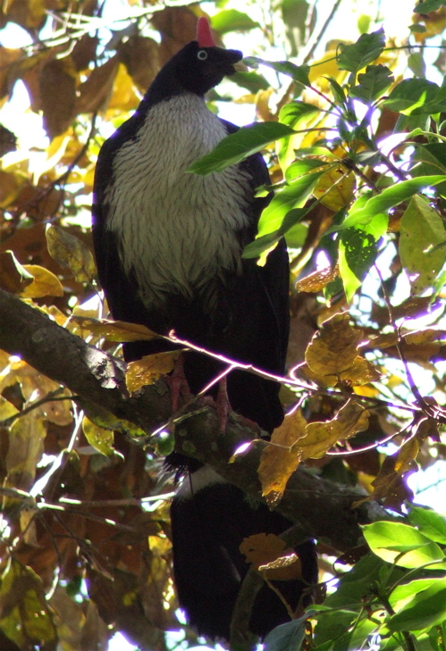 Horned guan in all its crazy glory. Alas, this was back when I was digiscoping with a point and shoot. Oh the photos I could get  now with a smartphone.
