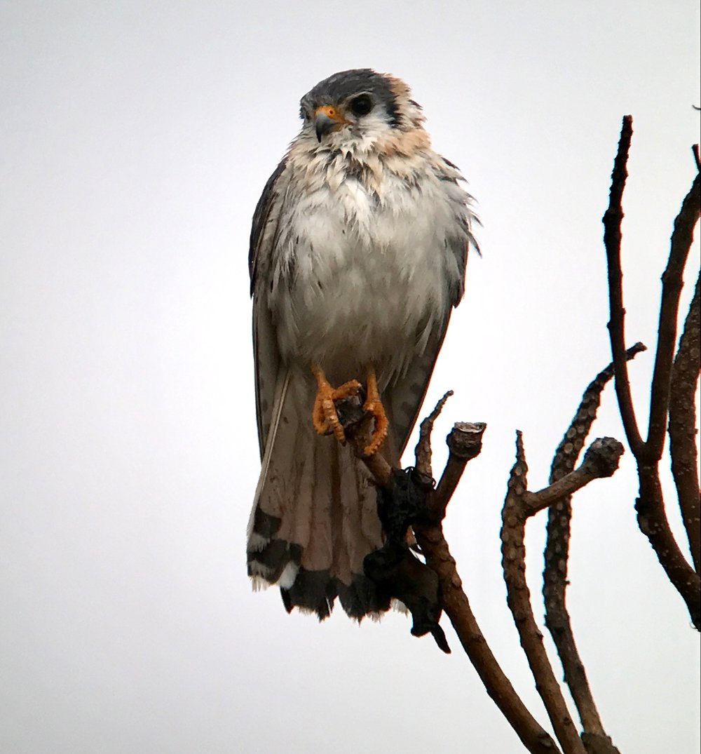 American kestrels are very pale in Cuba.