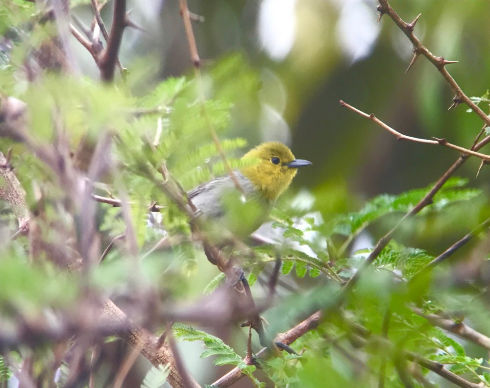 La Guira National Park is a good spot to see yellow-headed warbler too.