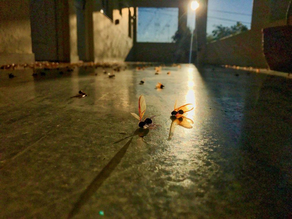 Dead Ants.jpg