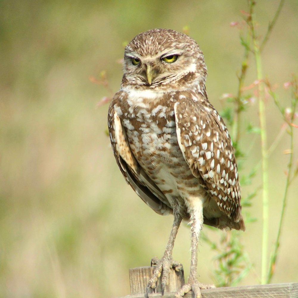 Burrowing Owl Adult 1.jpg