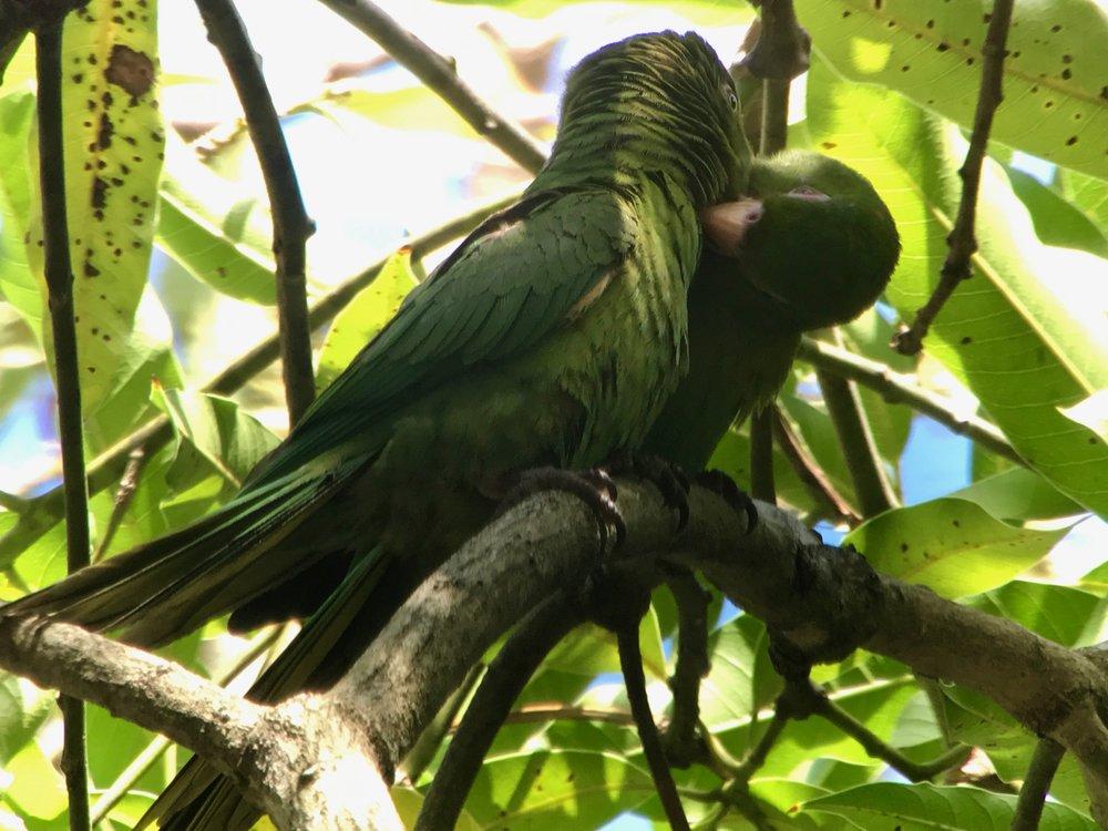 Allopreening parakeets.