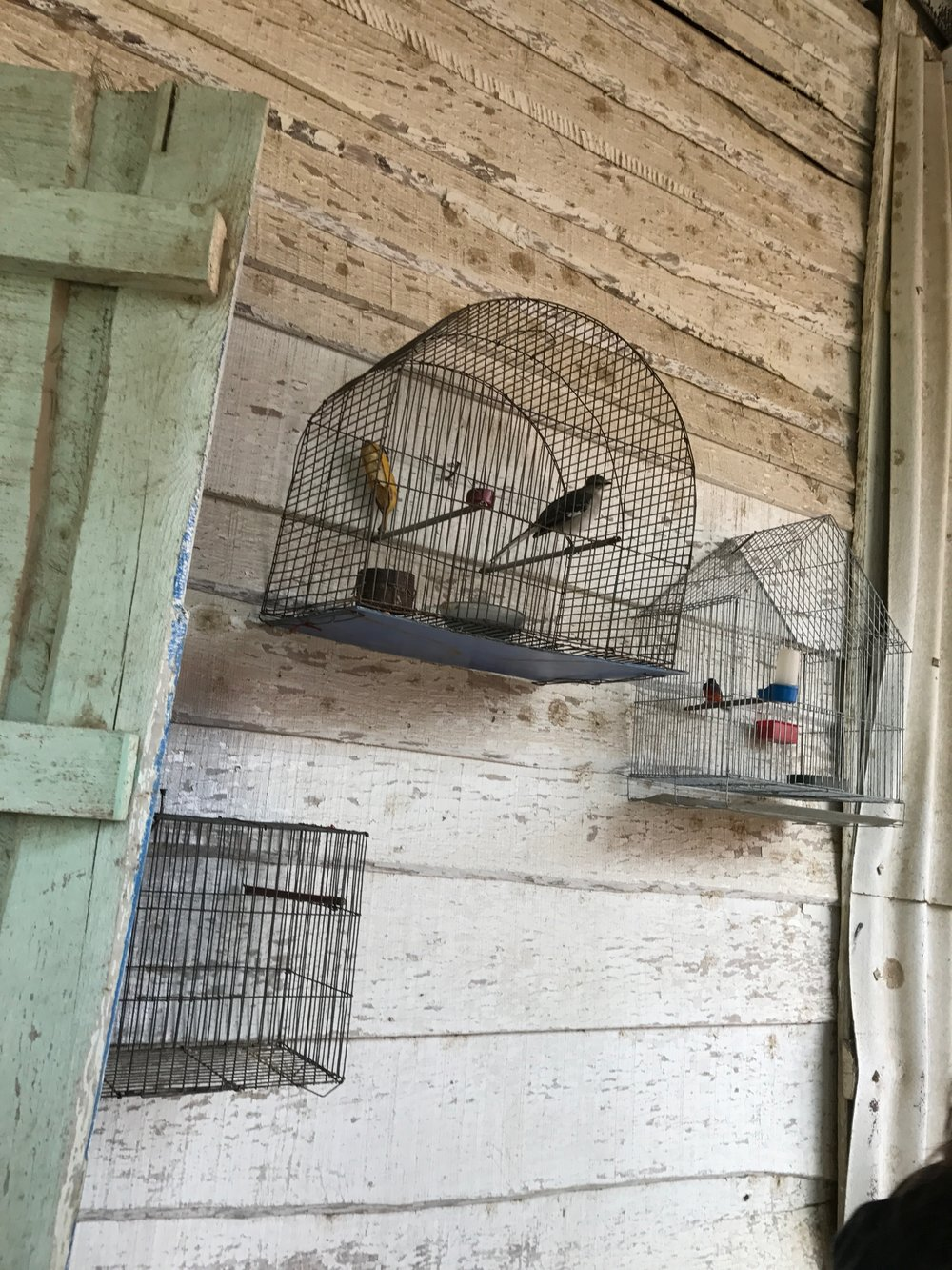 A caged mocking bird and caged painted bunting on a tobacco farm in Cuba.