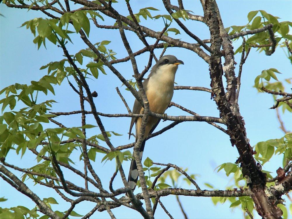 Mangrove cuckoo.