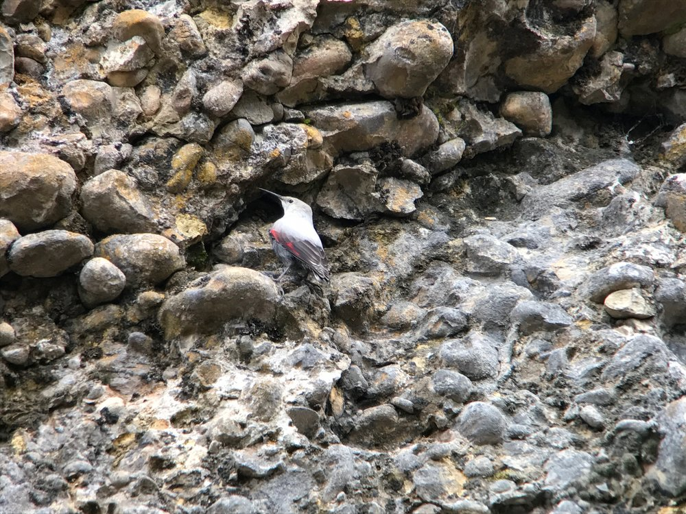 Wallcreeper!