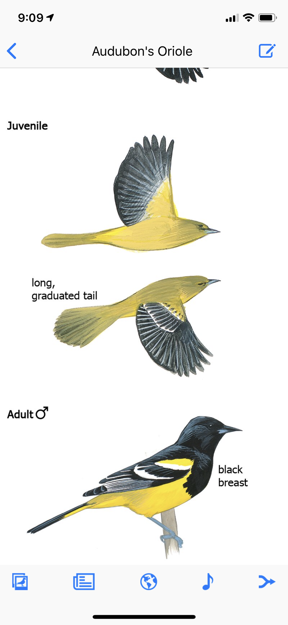 Oh hey…that's a Scott's oriole on the Audubon oriole page…I'm guessing an intern who is not a birder got confused.