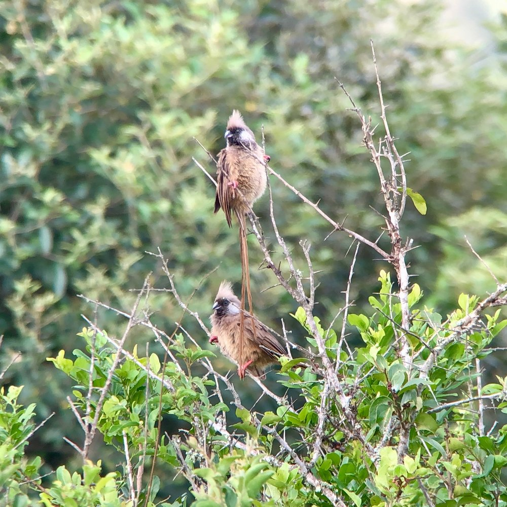 Speckled mousebirds tempting us away from our breakfasts.