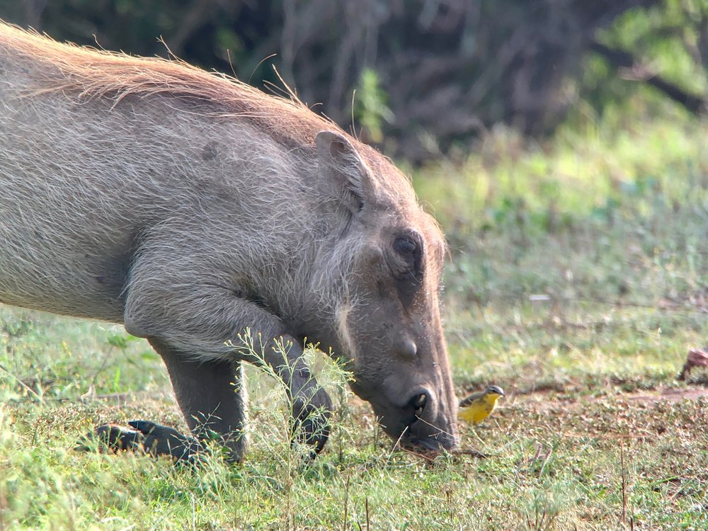 Warthog with a yellow wagtail.