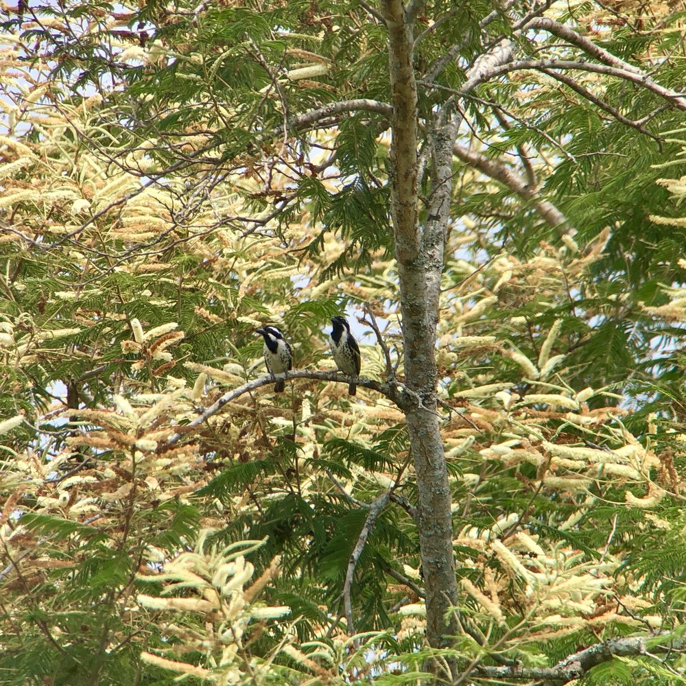 Spot-flanked barbet.