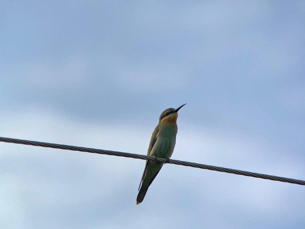 Madagascar bee-eater.