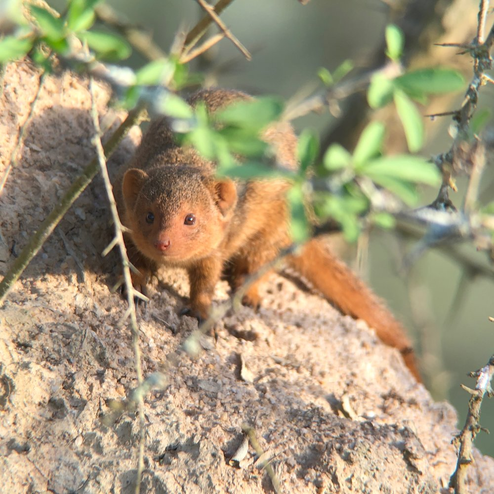Pygmy mongoose trying to assess if it could kill me and eat me.