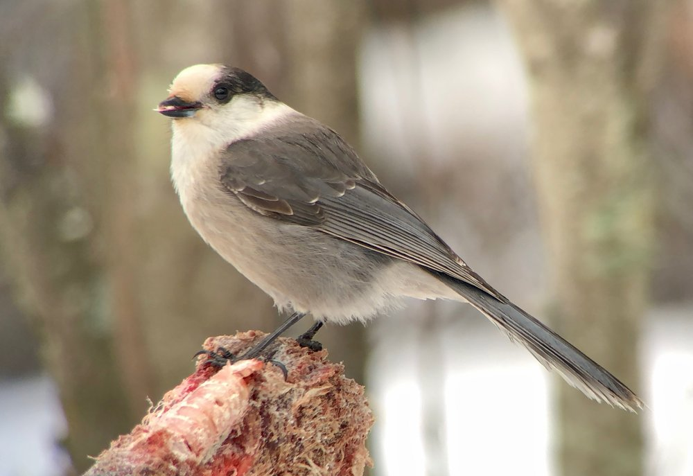 Canada Jay perched on meat mountain (a deer torso) at Sax Zim bog. Dozens of black-capped chickadees will also come in for this. Note video below.