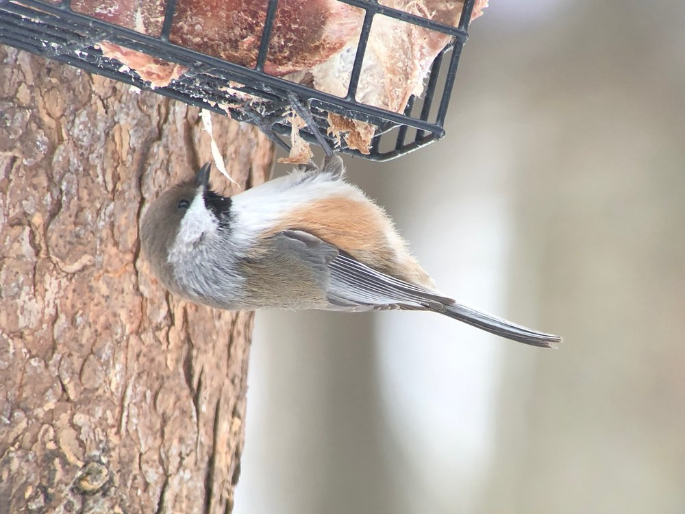 Boreal chickadee on a suet feeder filled with deer chunks.