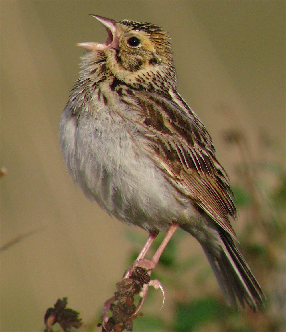 Baird's Sparrow.JPG