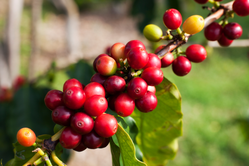 40-iStock_000015152393Small-kona-coffee-cherries.jpg