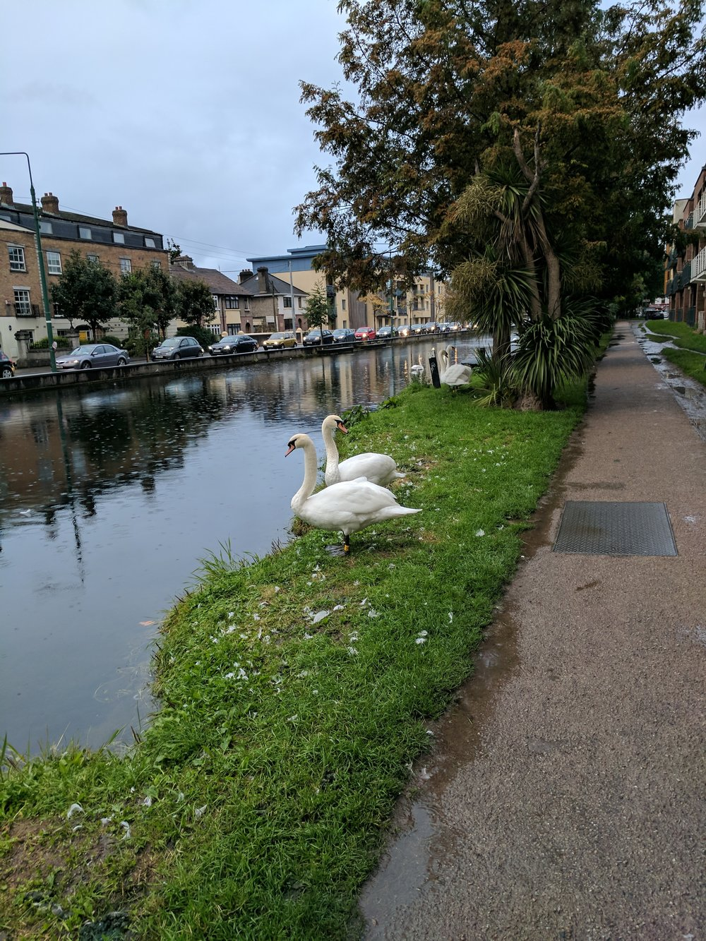 Swans or Geese?