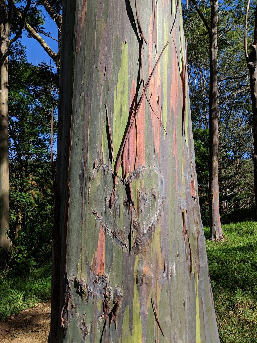 rainbow eucalyptus @ Keahua arboretum