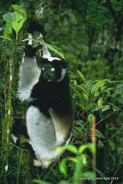 Perinet lemur.jpg