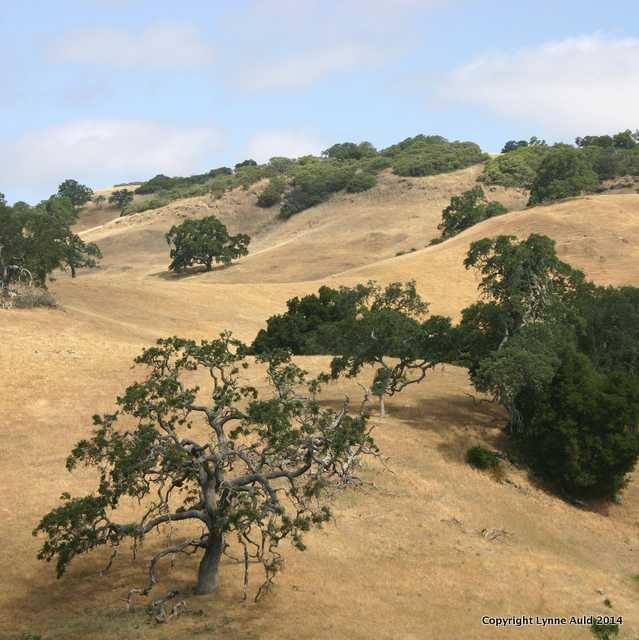 Oaks, Morgan Hill