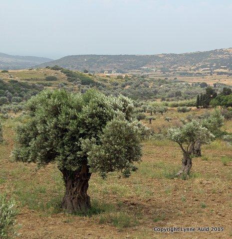 11-Olive grove sq.jpg