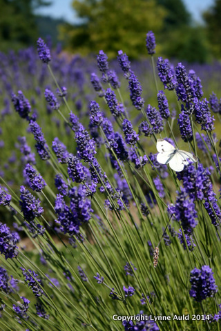 09-Butterfly in lavender.jpg