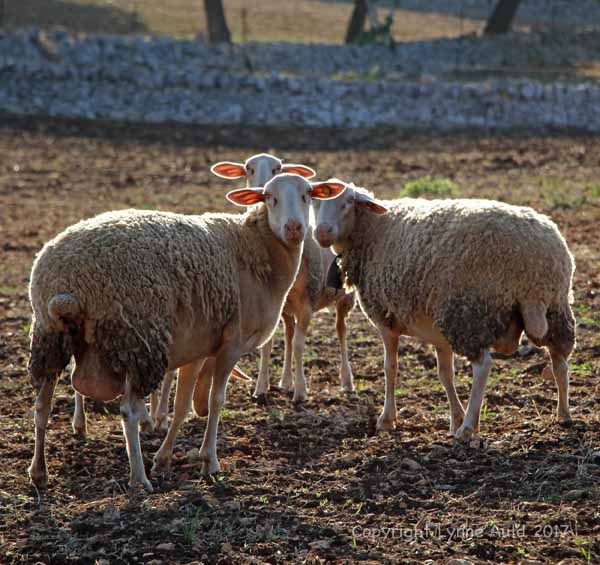 Three sheep004.jpg